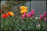 Нажмите на изображение для увеличения.  Название:IMG_2636 тюльпаны.jpg Просмотров:101 Размер:55.2 Кб ID:238111