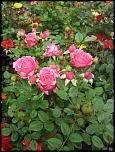 Нажмите на изображение для увеличения.  Название:роза мини 00.jpg Просмотров:139 Размер:60.1 Кб ID:231903