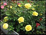 Нажмите на изображение для увеличения.  Название:роза мини 01.jpg Просмотров:134 Размер:108.4 Кб ID:231904