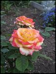 Нажмите на изображение для увеличения.  Название:роза Глория Дей 03.jpg Просмотров:136 Размер:34.9 Кб ID:231908