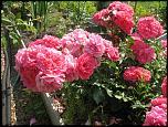 Нажмите на изображение для увеличения.  Название:роза Розариум Ю&#1.jpg Просмотров:135 Размер:106.1 Кб ID:231911