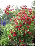 Нажмите на изображение для увеличения.  Название:Роза Фламен дан&#1.jpg Просмотров:140 Размер:73.9 Кб ID:231912