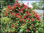 Нажмите на изображение для увеличения.  Название:Роза Фламен дан&#1.jpg Просмотров:152 Размер:151.4 Кб ID:231913