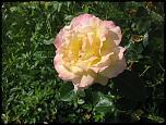 Нажмите на изображение для увеличения.  Название:роза Глория Дей 02.jpg Просмотров:123 Размер:73.9 Кб ID:231907