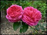 Нажмите на изображение для увеличения.  Название:роза Отелло 2014.jpg Просмотров:123 Размер:79.6 Кб ID:231909