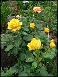 Нажмите на изображение для увеличения.  Название:роза ч г Керео 2013.jpg Просмотров:125 Размер:65.5 Кб ID:231914