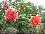 Нажмите на изображение для увеличения.  Название:роза ч.г.  Чипенде.jpg Просмотров:118 Размер:94.5 Кб ID:231915
